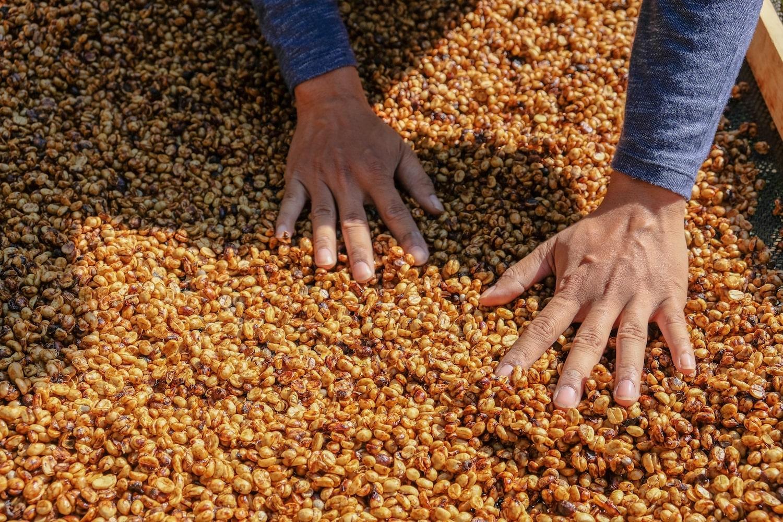 Café en grain après la torréfaction