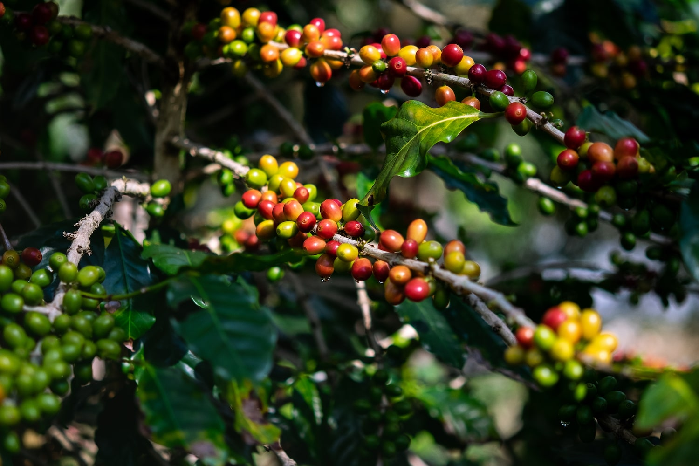 Grappe de café sur arbre