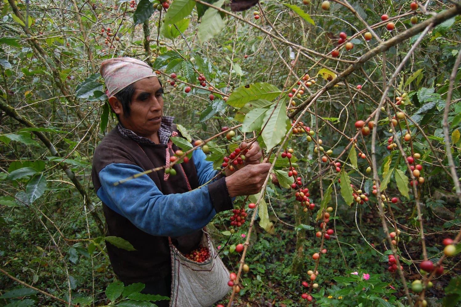 cueillette grain de café en Tanzanie