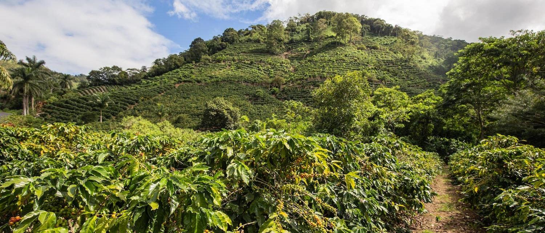 Plantation de café en Tanzanie