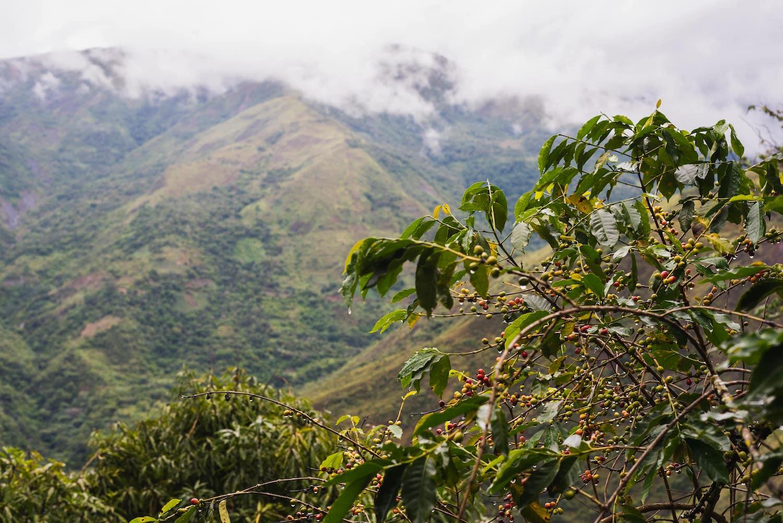 Plantation de café au Brésil