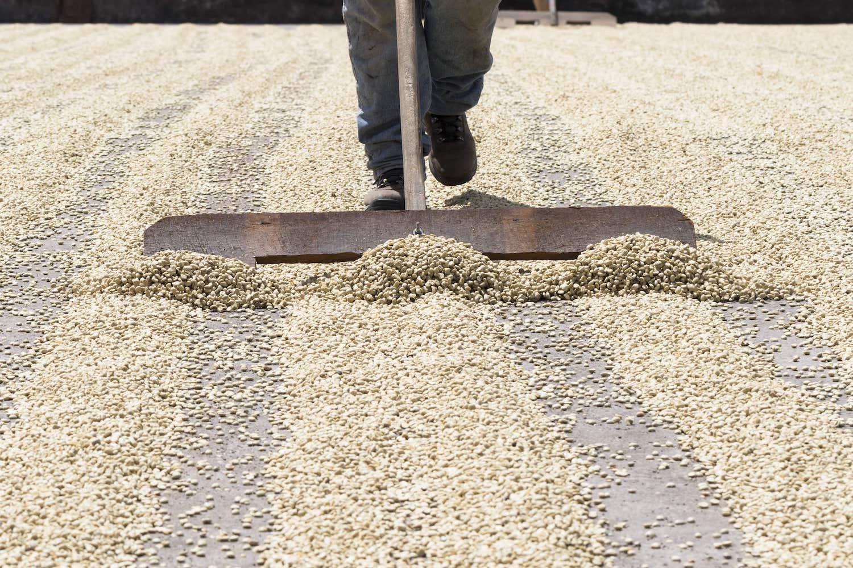 Séchage des grains de café