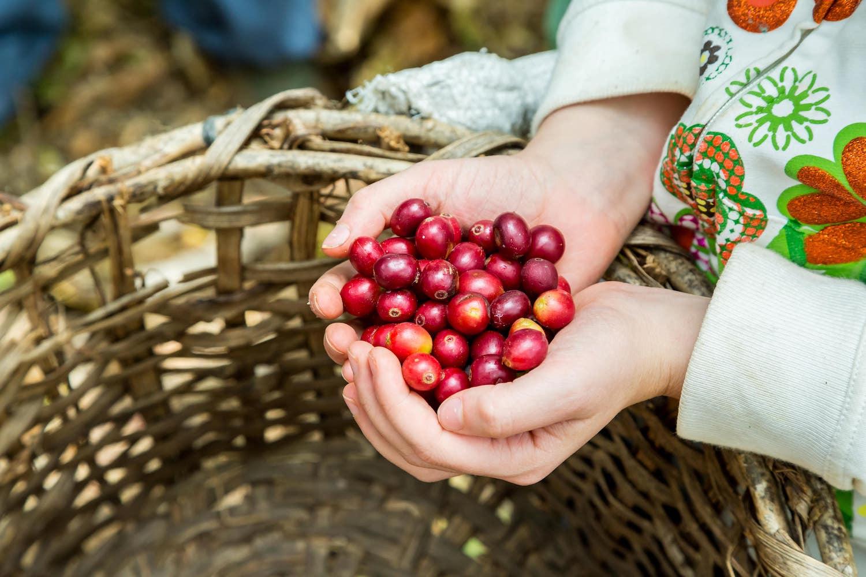 La récolte des grains de café