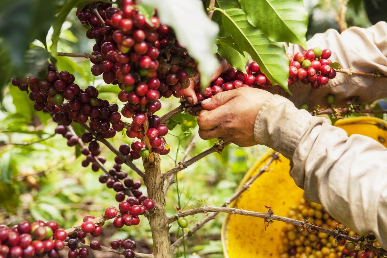 cueillette grain de café sur arbre